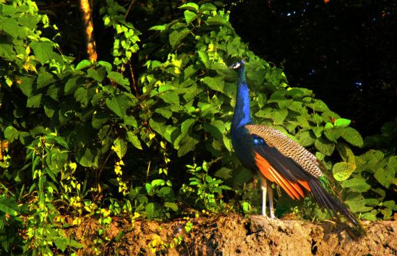 pavo-real-chitwan-nepal