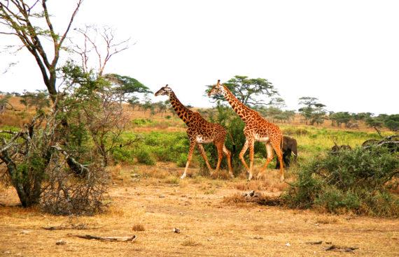 safari-jirafas-tanzania