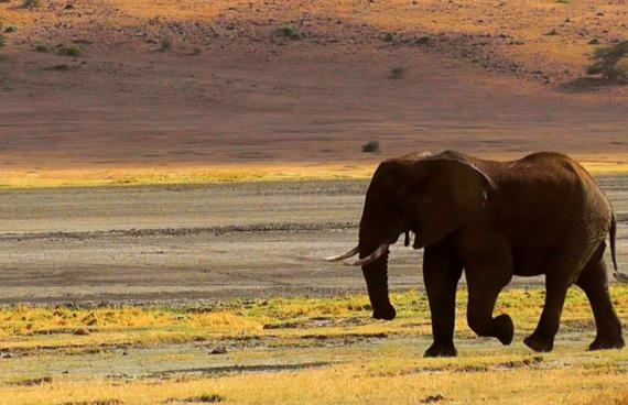 elefante-sabana