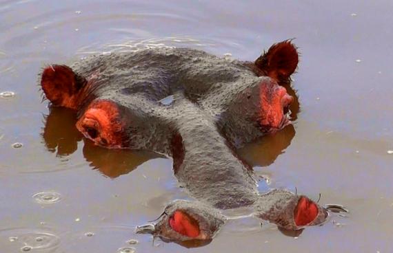 hipopótamo-agua