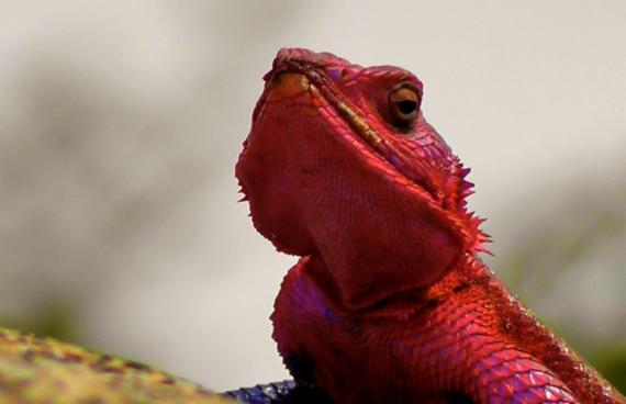 lagarto-África
