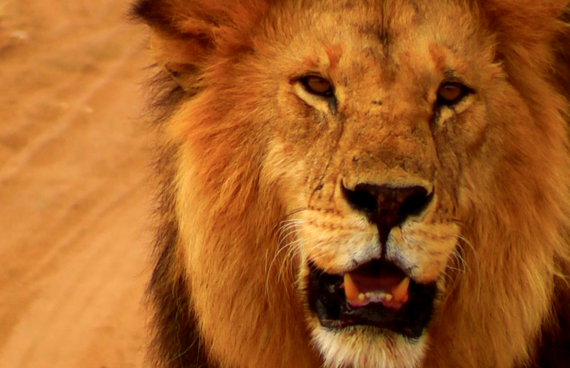 león-Serengeti