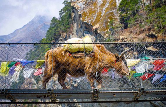 el yack es el animal de carga que ayuda a los Sherpa en sus labores